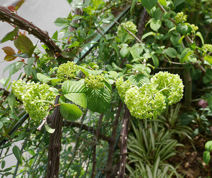 オオデマリ(大手鞠)が少し咲いた。2019年-4.jpg