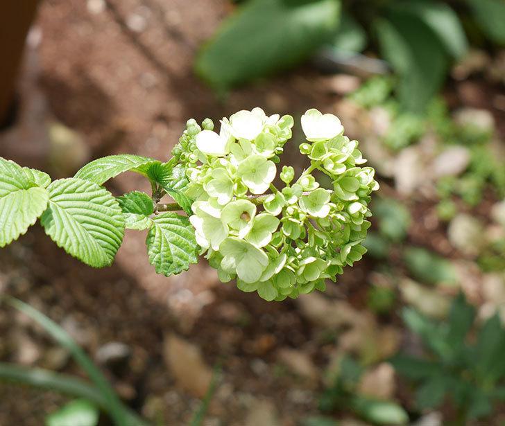 オオデマリ(大手鞠)が少し咲いた。2019年-5.jpg