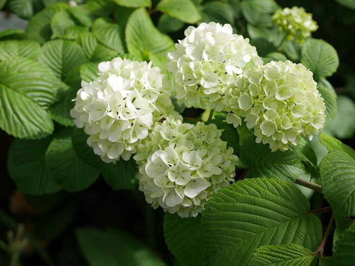 オオデマリ(大手鞠)の花が咲いた。2020年-1.jpg
