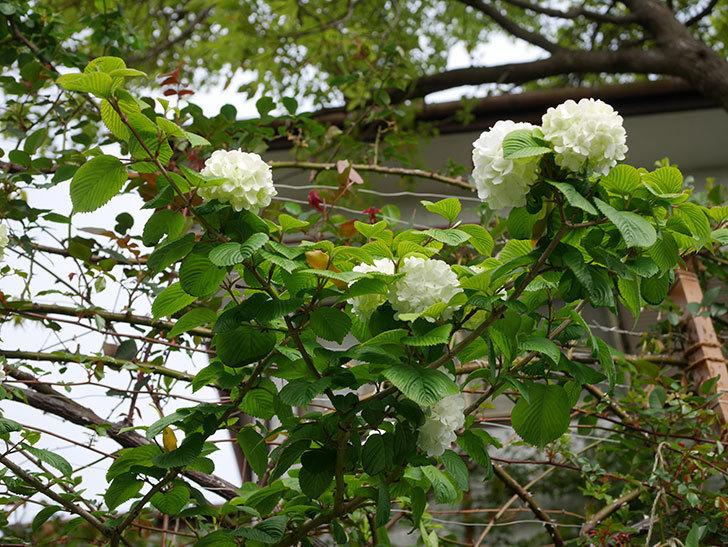オオデマリ(大手鞠)の花が咲いた。2021年-001.jpg