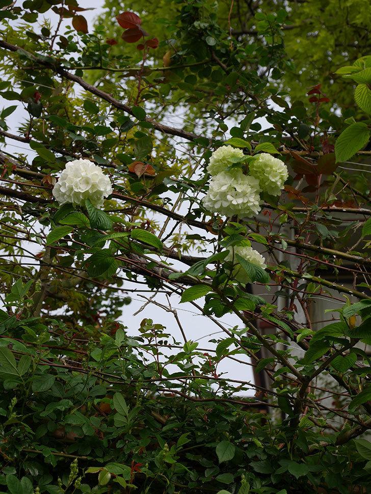 オオデマリ(大手鞠)の花が咲いた。2021年-002.jpg