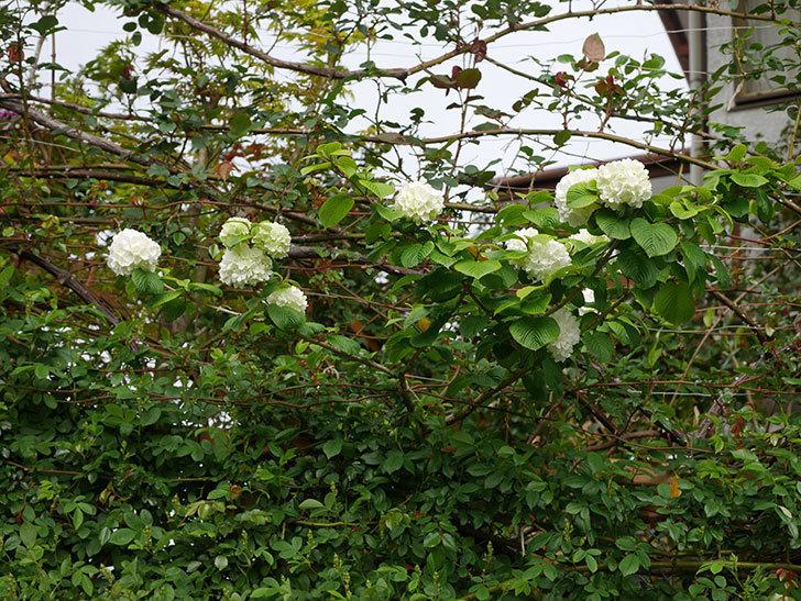 オオデマリ(大手鞠)の花が咲いた。2021年-003.jpg