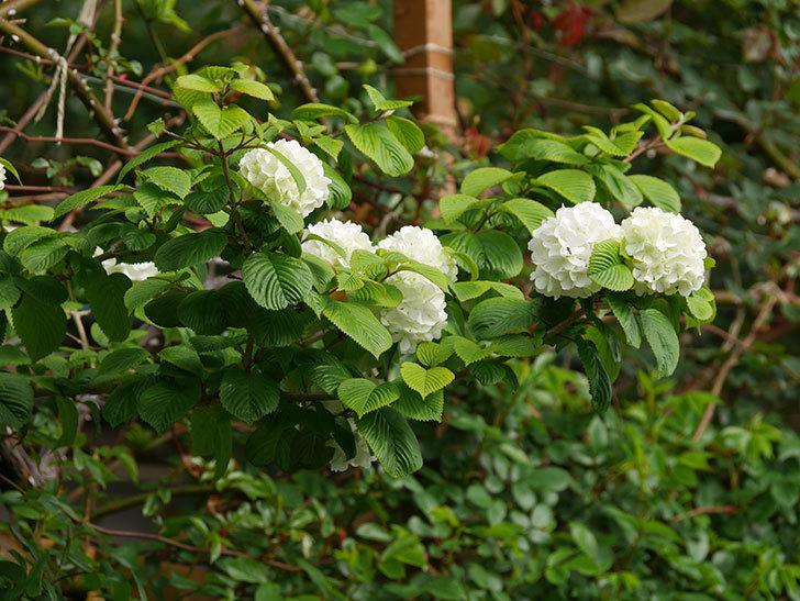 オオデマリ(大手鞠)の花が咲いた。2021年-004.jpg