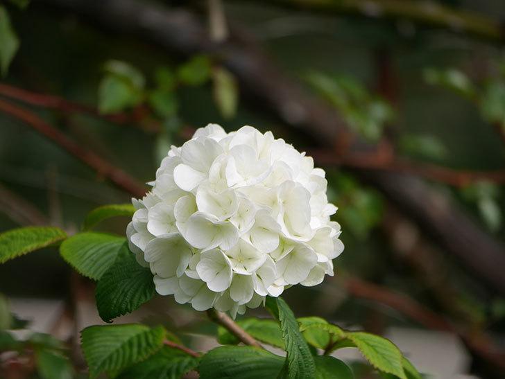 オオデマリ(大手鞠)の花が咲いた。2021年-005.jpg