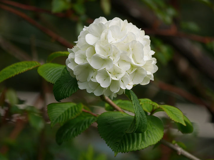 オオデマリ(大手鞠)の花が咲いた。2021年-006.jpg