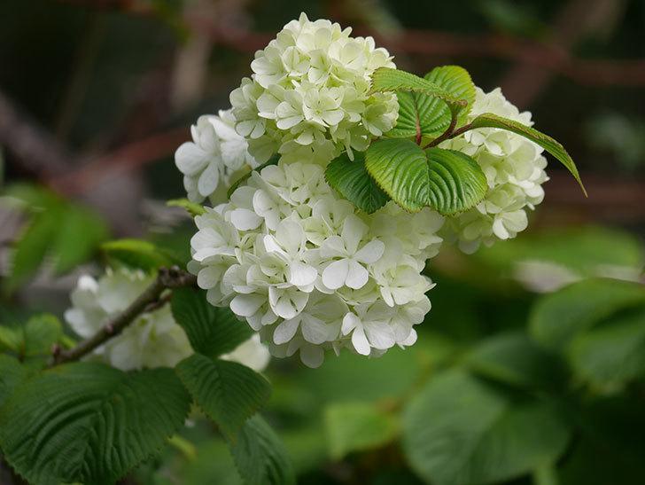 オオデマリ(大手鞠)の花が咲いた。2021年-007.jpg