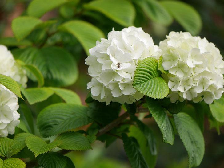 オオデマリ(大手鞠)の花が咲いた。2021年-008.jpg