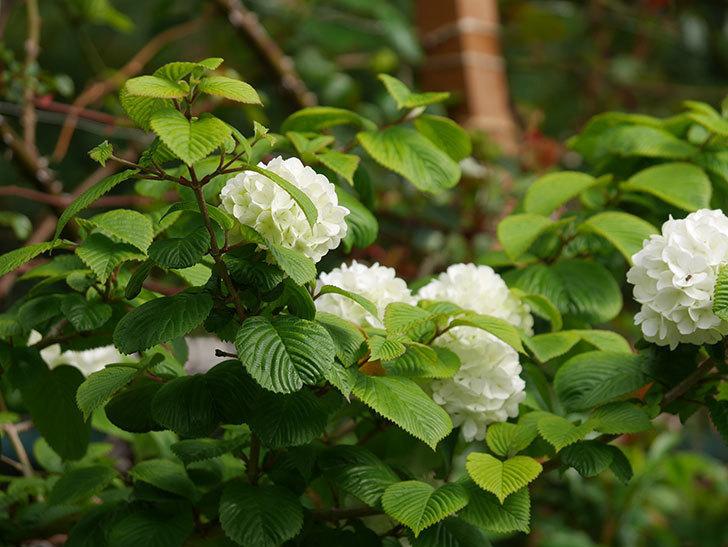 オオデマリ(大手鞠)の花が咲いた。2021年-009.jpg