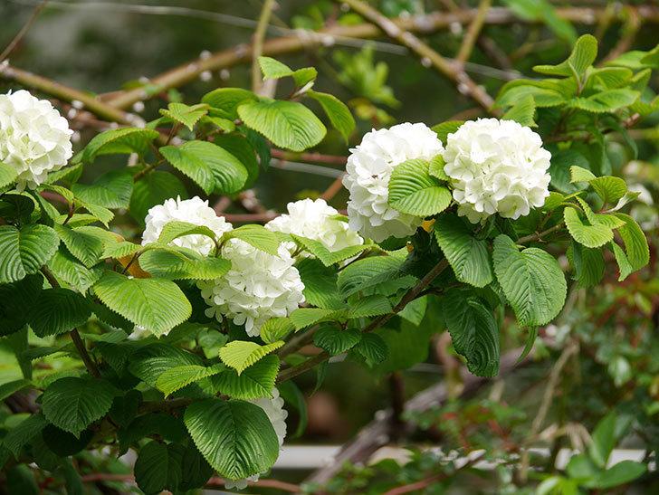 オオデマリ(大手鞠)の花が咲いた。2021年-010.jpg
