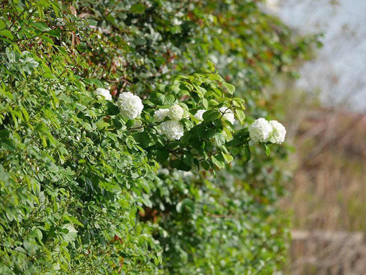 オオデマリ(大手鞠)の花が咲いた。2021年-011.jpg