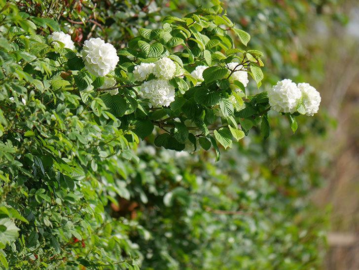 オオデマリ(大手鞠)の花が咲いた。2021年-012.jpg