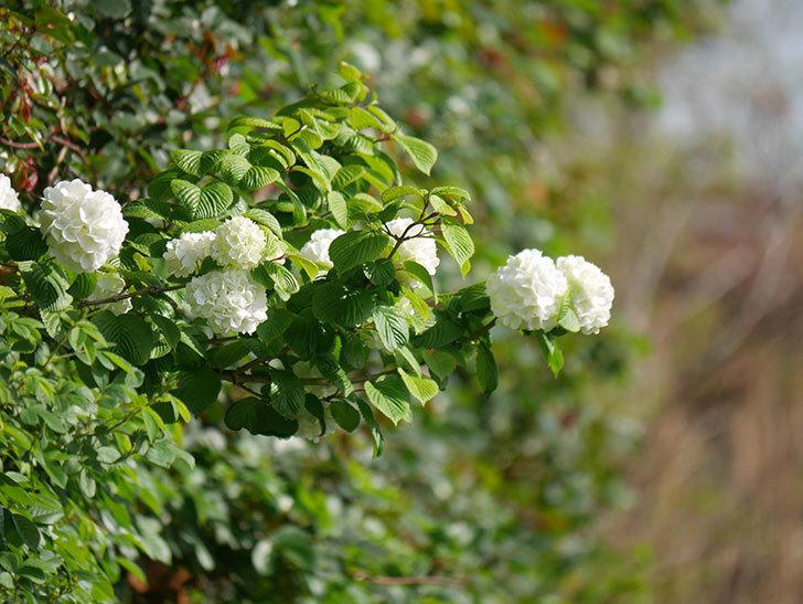 オオデマリ(大手鞠)の花が咲いた。2021年-013.jpg
