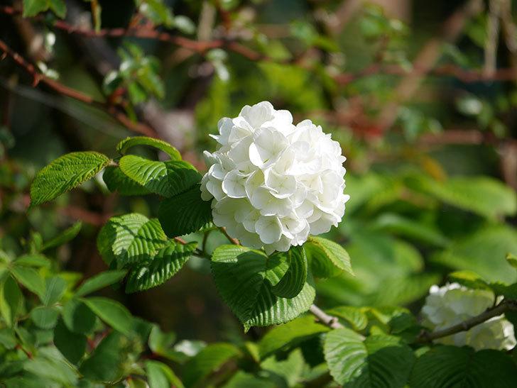 オオデマリ(大手鞠)の花が咲いた。2021年-014.jpg
