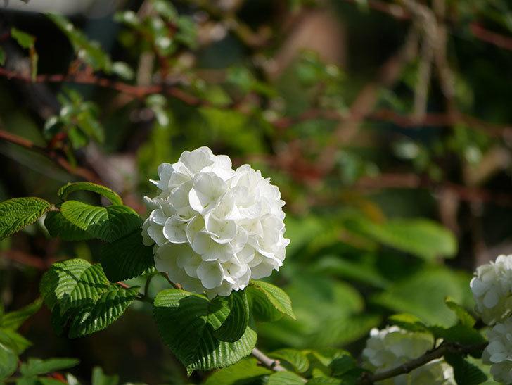オオデマリ(大手鞠)の花が咲いた。2021年-015.jpg