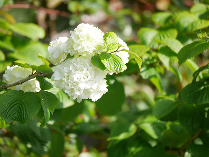 オオデマリ(大手鞠)の花が咲いた。2021年-016.jpg