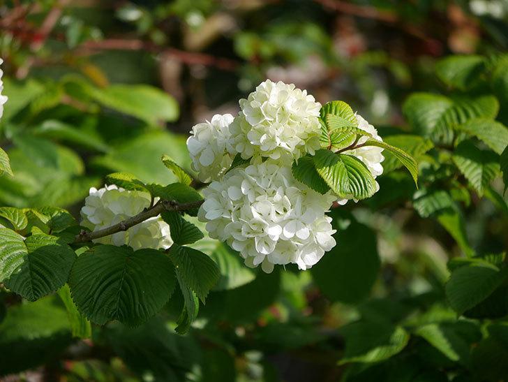 オオデマリ(大手鞠)の花が咲いた。2021年-017.jpg