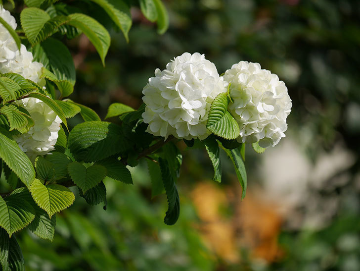 オオデマリ(大手鞠)の花が咲いた。2021年-018.jpg