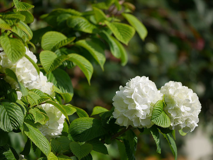 オオデマリ(大手鞠)の花が咲いた。2021年-019.jpg