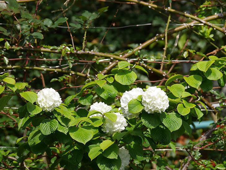 オオデマリ(大手鞠)の花が咲いた。2021年-020.jpg