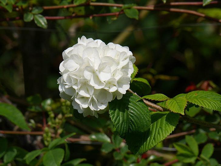 オオデマリ(大手鞠)の花が咲いた。2021年-021.jpg