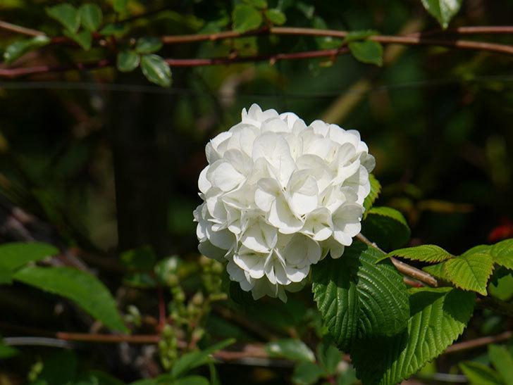 オオデマリ(大手鞠)の花が咲いた。2021年-022.jpg