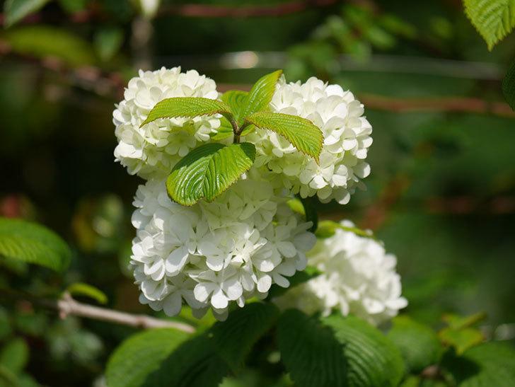 オオデマリ(大手鞠)の花が咲いた。2021年-023.jpg