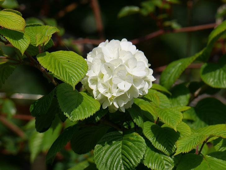オオデマリ(大手鞠)の花が咲いた。2021年-024.jpg