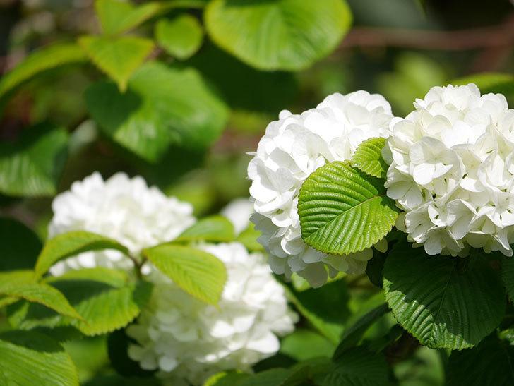 オオデマリ(大手鞠)の花が咲いた。2021年-025.jpg