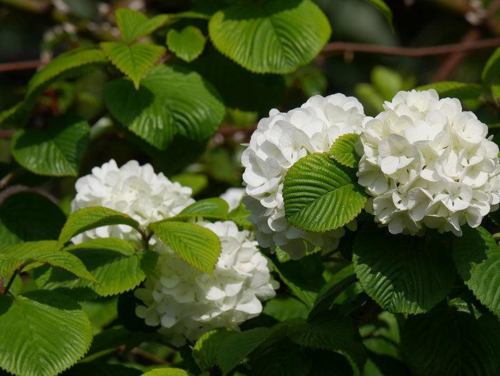 オオデマリ(大手鞠)の花が咲いた。2021年-026.jpg