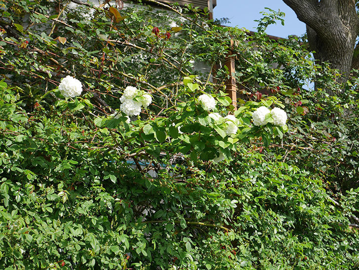 オオデマリ(大手鞠)の花が咲いた。2021年-027.jpg