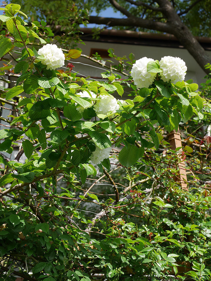 オオデマリ(大手鞠)の花が咲いた。2021年-029.jpg