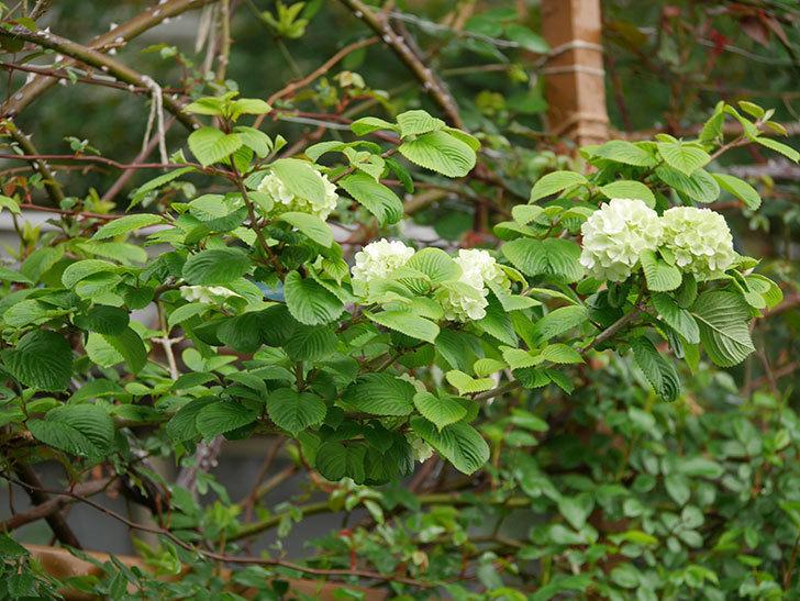 オオデマリ(大手鞠)の花が咲きだした。2021年-001.jpg