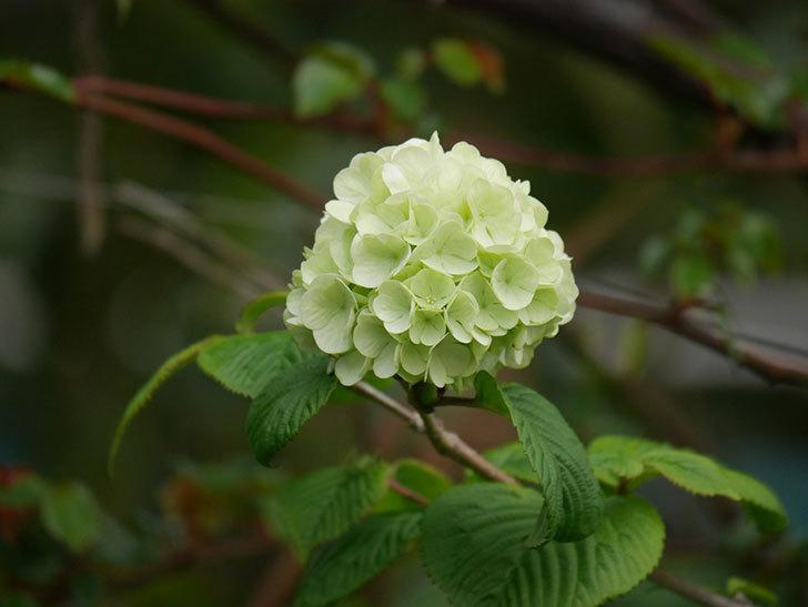 オオデマリ(大手鞠)の花が咲きだした。2021年-002.jpg