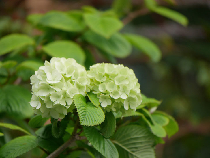 オオデマリ(大手鞠)の花が咲きだした。2021年-003.jpg