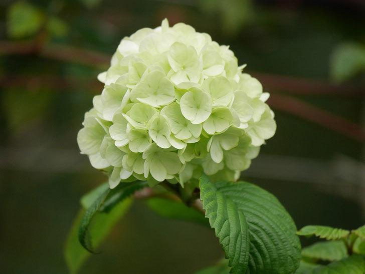 オオデマリ(大手鞠)の花が咲きだした。2021年-005.jpg