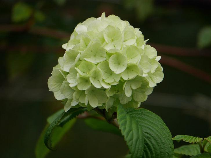 オオデマリ(大手鞠)の花が咲きだした。2021年-006.jpg
