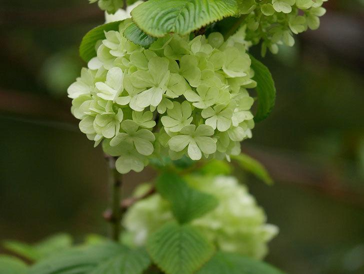 オオデマリ(大手鞠)の花が咲きだした。2021年-007.jpg