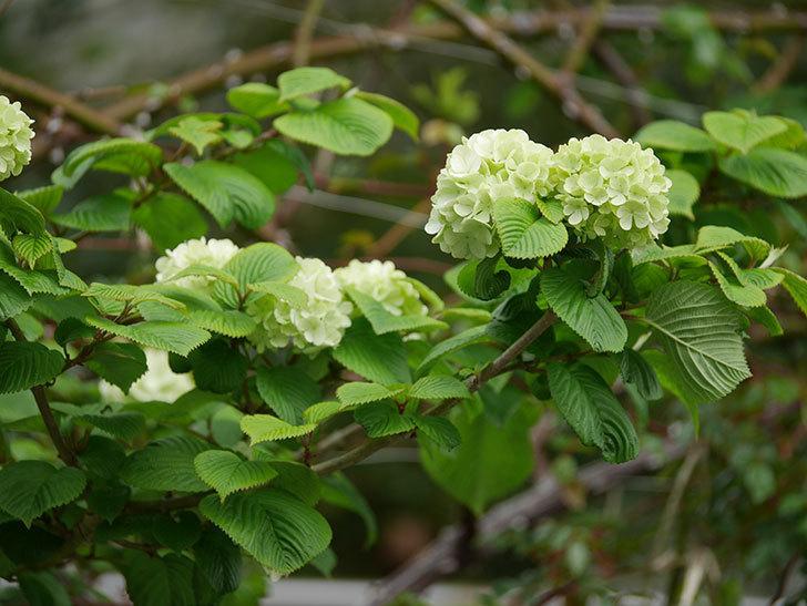 オオデマリ(大手鞠)の花が咲きだした。2021年-008.jpg