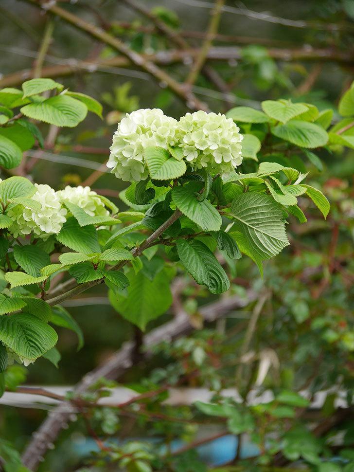 オオデマリ(大手鞠)の花が咲きだした。2021年-009.jpg