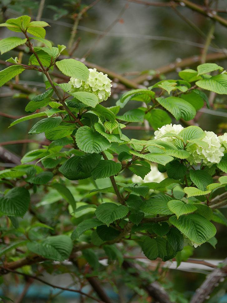 オオデマリ(大手鞠)の花が咲きだした。2021年-010.jpg