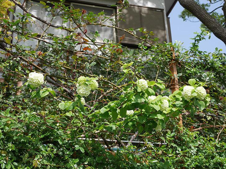 オオデマリ(大手鞠)の花が咲きだした。2021年-012.jpg