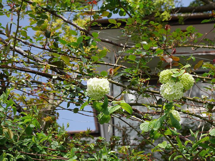オオデマリ(大手鞠)の花が咲きだした。2021年-013.jpg