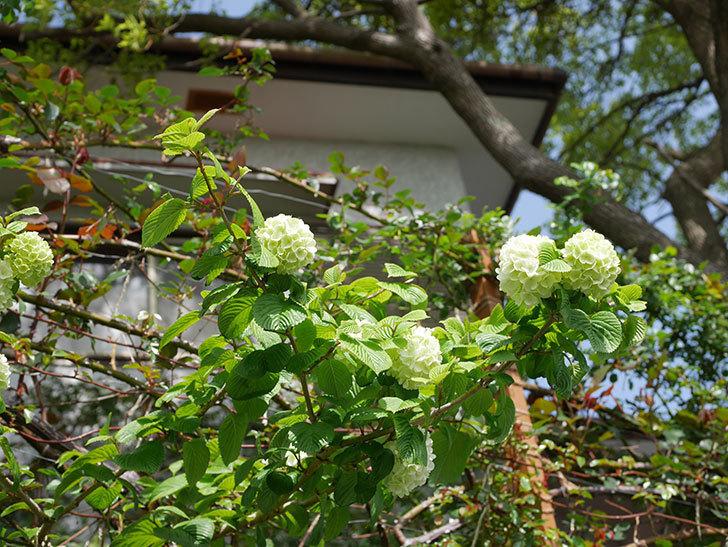 オオデマリ(大手鞠)の花が咲きだした。2021年-014.jpg