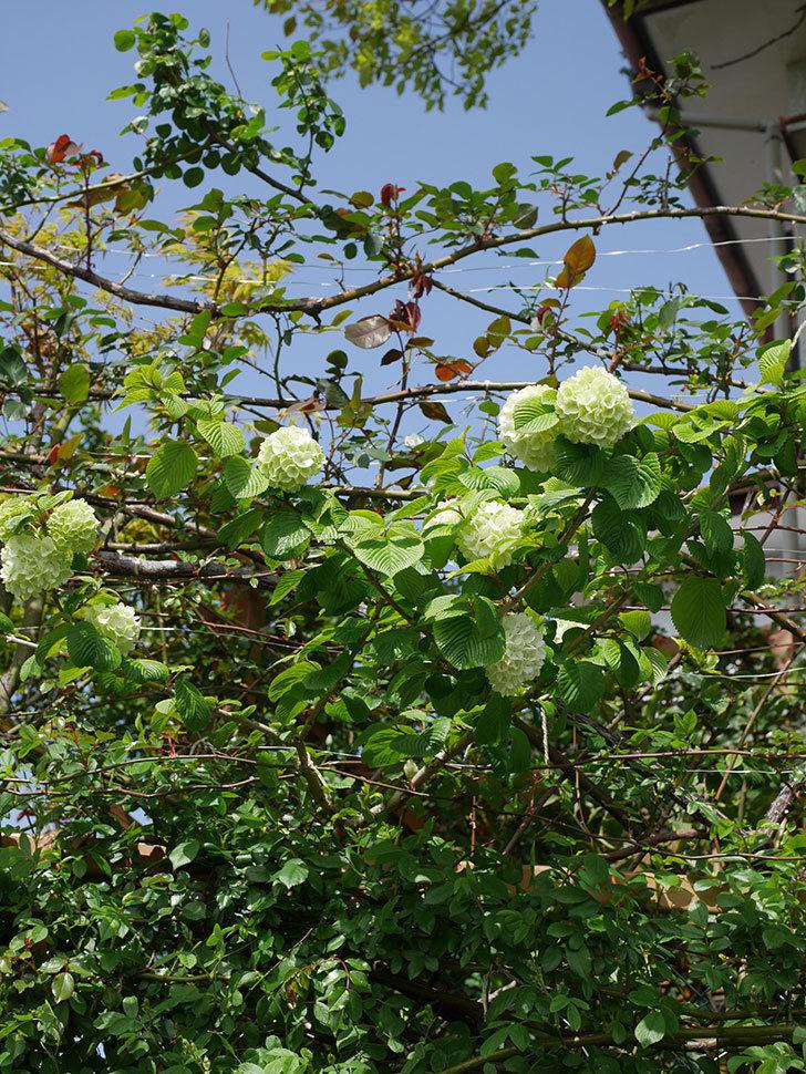オオデマリ(大手鞠)の花が咲きだした。2021年-016.jpg