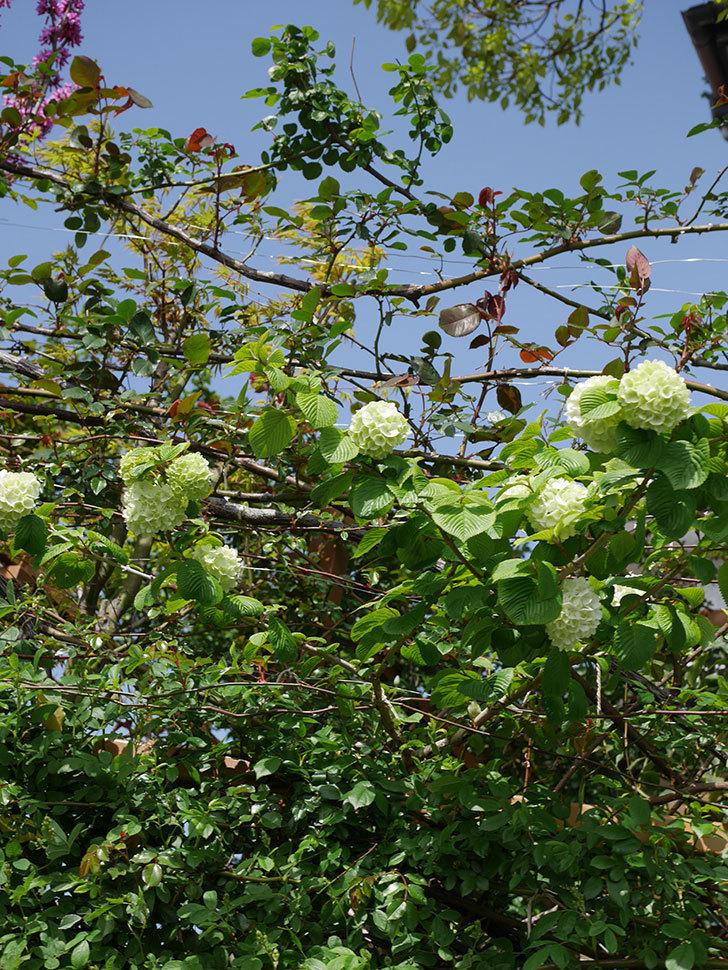 オオデマリ(大手鞠)の花が咲きだした。2021年-017.jpg