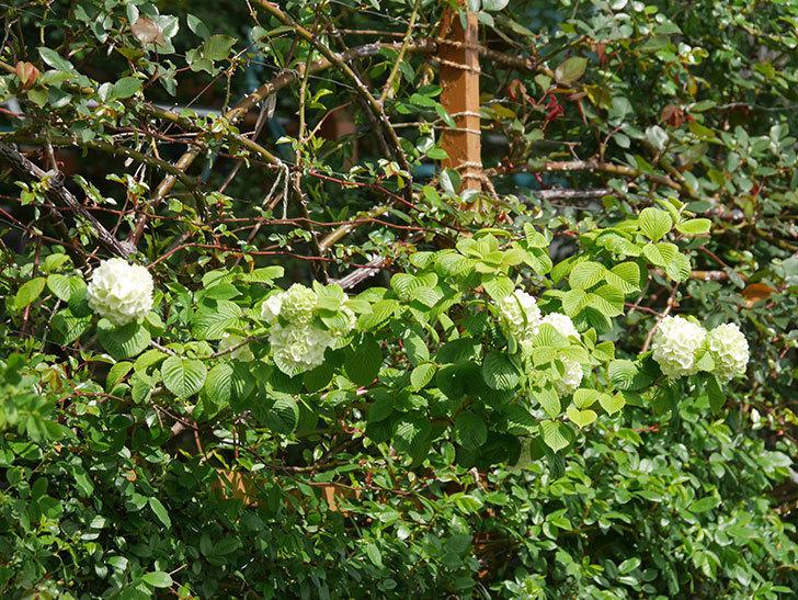 オオデマリ(大手鞠)の花が咲きだした。2021年-018.jpg