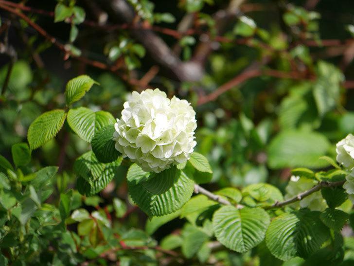 オオデマリ(大手鞠)の花が咲きだした。2021年-019.jpg