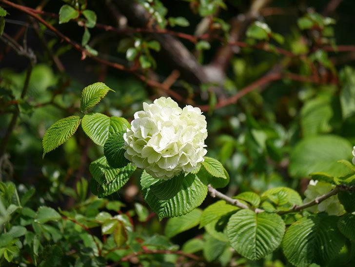 オオデマリ(大手鞠)の花が咲きだした。2021年-020.jpg