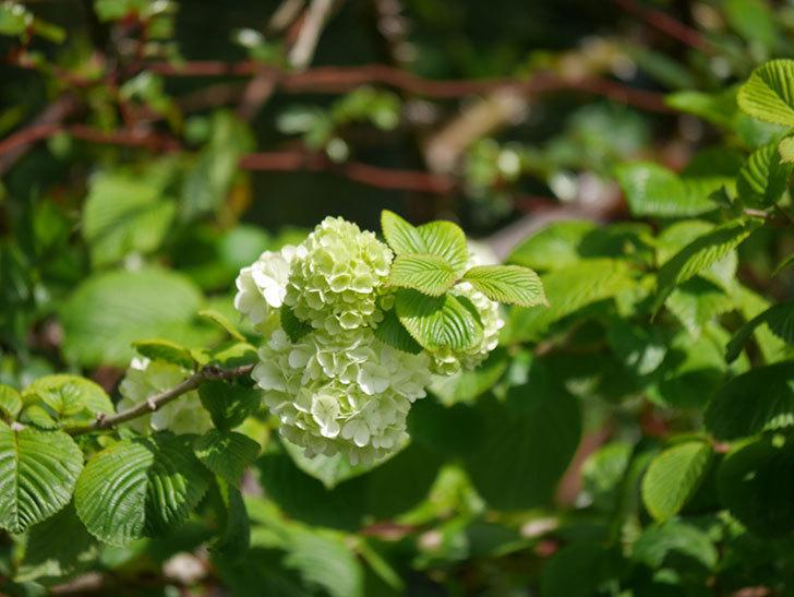 オオデマリ(大手鞠)の花が咲きだした。2021年-021.jpg