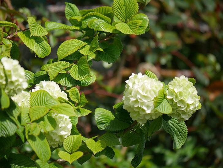 オオデマリ(大手鞠)の花が咲きだした。2021年-022.jpg